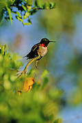 Ruby-throated Hummingbird at rest - Mississippi