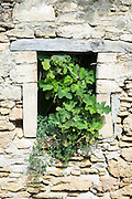 Fig Tree growing inside derelict old stone house through broken window in village of Peroulades in Corfu,  Greece