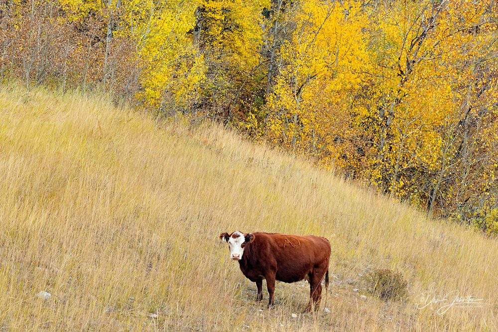 Autumn aspens and cattle, near Longview, Alberta, Canada
