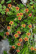 Yellow mountain saxifrage (Saxifraga aizoides, in the Saxifragaceae family). This flowering herb and alpine plant spreads by short rhizomes, forming mats. The flowers, with five sepals and petals, are yellow-green, or sometimes appear reddish-orange as shown here. August is a good month to see many attractive alpine wildflowers blooming in the Alpstein limestone range, Appenzell Alps, Switzerland, Europe. Appenzell Innerrhoden is Switzerland's most traditional and smallest-population canton (second smallest by area).