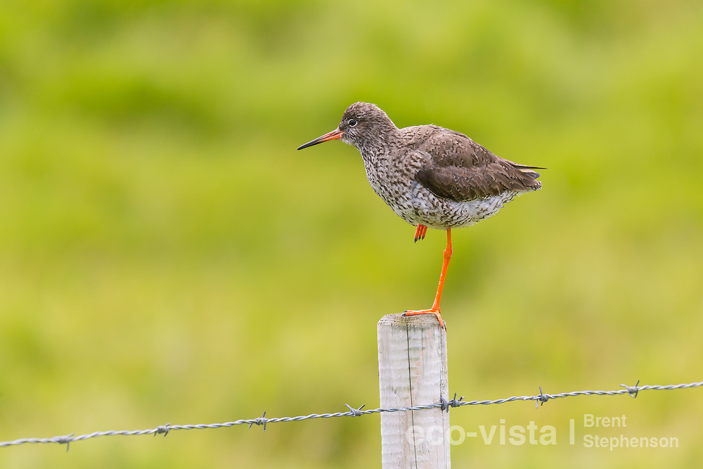 Adult common redshank (Tringa totanus) perched on top of a fence post. This bird had a chick nearby and was keeping a lookout in order to protect it. Flatey, West Fjords, Iceland. July.