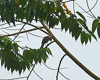 Clay-colored Thrush (Turdus grayi). Arenal Volcano Lodge. Image taken with a Nikon D3s camera and 70-300 mm VR lens