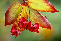 The berries of Euonymus latifolius. Spindle tree