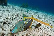 Spanish Hogfish (Bodianus rufus), Trumpetfish, (Aulostomus maculatus) & Stoplight Parrotfish (Sparisoma viride)<br /> BONAIRE, Netherlands Antilles, Caribbean<br /> HABITAT & DISTRIBUTION: Reefs<br /> Florida, Bahamas, Caribbean, Gulf of Mexico, Bermuda & south to Brazil.