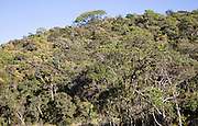 Cloud forest canopy with emergent trees,  Horton Plains national park, Sri Lanka, Asia