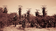 A field of aloe vera plants outside of Gaborone, Botswana. Aloe plants have numerous topical, medicinal, traditional, and folklore uses in Southern Africa.