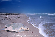 Kemp's ridley sea turtle, Lepidochelys kempii ( critically endangered species ), returns to sea after nesting, Rancho Nuevo, Mexico ( Gulf of Mexico )