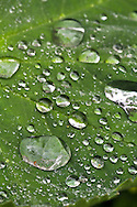 Raindrops collect on a Lady's Mantle (Alchemilla) leaf