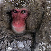Snow Monkey or Japanese Red-faced Macaque, (Macaca fuscata. Portrait of juvenile. Japan.