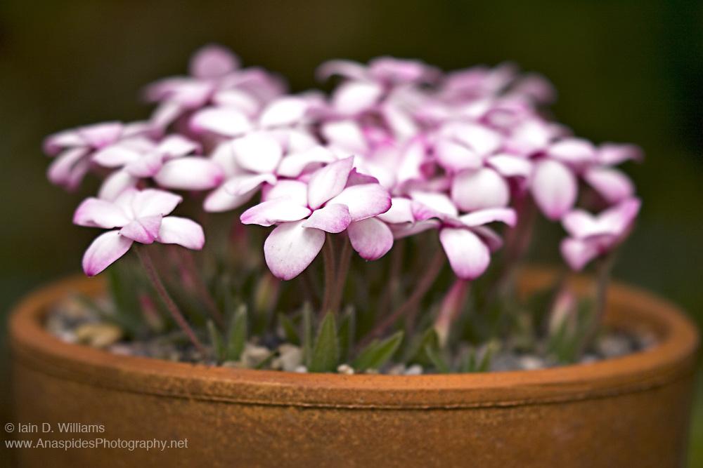 Pink Cyclamen - Tasmania