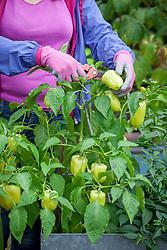 Harvesting peppers
