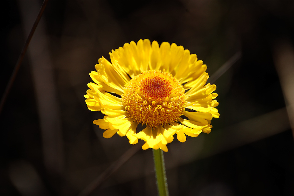 Everglades daisy photographed in the dry season of the Big Cypress National Preserve. Look for them in large numbers in the spring!