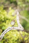 Warbala Finch, Santa Cruz Island, Ecuador, Galapagos, South America