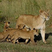 African Lion (Panthera leo) Mother resting with cubs. Masai Mara National Park. Kenya. Africa.
