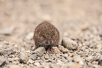 This little native to British Columbia, Washington and Oregon was found by chance scurrying across a remote mountain road in the North Cascades National Park. It was very young, and probably just left its nest as it was only about half the size of an adult.
