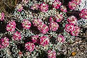 Alpine wildflower: cushion buckwheat with pink flowers (Eriogonum genus). Piute Pass Trail (9.7 miles, 2200 ft gain) in John Muir Wilderness, Inyo National Forest, Mono County, California, USA.