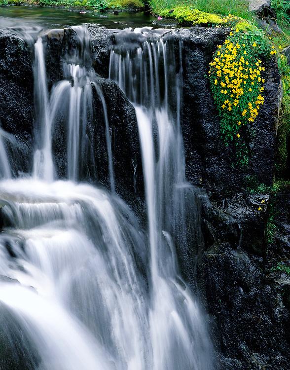 Yellow monkeyflowers, summer, Sunbeam Creek, Mount Rainier National Park, Washington, USA