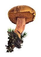 peppery bolete<br /> Chalciporus piperatus