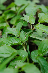 Zevenblad, Aegopodium podagraria
