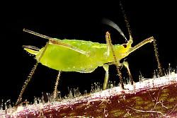 THEMENBILD - Die Erbsenlaus (Acyrthosiphon pisum) ist eine Blattlaus aus der Familie der Röhrenblattläuse. Sie gilt als Schädling auf verschiedenen Nutzpflanzen aus der Unterfamilie der Schmetterlingsblütler, wie Erbsen, Ackerbohnen, Luzernen und Klee. Hier im Bild adulte Erbsenlaus (Acyrthosiphon pisum). Aufgenommen am 15.08.2013 // THEMES PICTURE - Acyrthosiphon pisum, commonly known as the pea aphid, is a sap-sucking insect in the Aphididae family. It feeds on several species of legumes (plant family Fabaceae) worldwide, including forage crops, such as pea, clover, alfalfa, and broad bean, pictured on 2013/08/15. EXPA Pictures © 2013, PhotoCredit: EXPA/ Eibner/ Michael Weber<br /> <br /> ***** ATTENTION - OUT OF GER *****