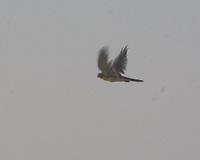 American Kestrel (Falco sparverius). Theodore Roosevelt National Park, North Dakota. Image taken with a Nikon D300 camera and 18-200 mm VR lens.