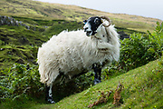 A bleating sheep with horns. The Fairy Glen (or Faerie Glen) is an unusual landscape of grassy, cone-shaped hills (with Castle Ewen most prominent) near Uig village, on the Trotternish peninsula, in Scotland, United Kingdom, Europe. Walk an easy loop of 1.2 miles round trip (see www.walkhighlands.co.uk).