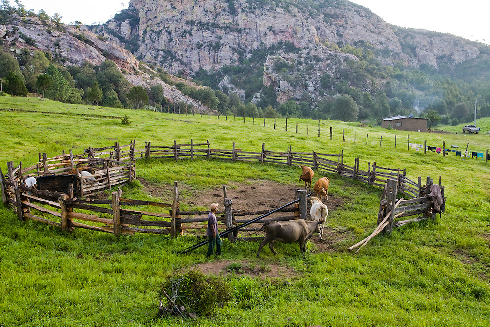 Jose Angel Galaviz Carrillo's oldest son drives cows into the corral at rancher Jose Angel Galaviz' home in the Sierra Mountains near Maycoba, in the Mexican state of Sonora.   (Jose Angel Galaviz Carrillo is featured in the book What I Eat: Around the World in 80 Diets.)