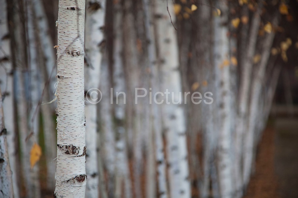 Silver Birch trees planted in rows.