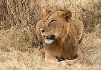 A young male Lion, Panthera leo  melanochaita, in Tarangire National Park, Tanzania