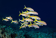 The yellowfin goatfish is a species of goatfish. Species: M. vanicolensis<br /> Class: Actinopterygii<br /> Genus: Mulloidichthys<br /> Family: Mullidae