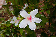 Kokio flower, Hibiscus arnottianus, Maui Nui Botanical Gardens, Kahului, Maui, Hawaii