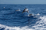 pantropical spotted dolphins, Stenella attenuata, jumping, South Kona, Hawaii ( the Big Island ), USA ( Central Pacific Ocean )