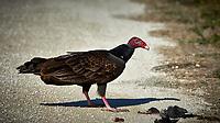 Turkey Vulture Having Brunch. Biolab Road, Merritt Island National Wildlife Refuge. Image taken with a Nikon D4 camera and 500 mm f/4 VR lens (ISO 500, 500 mm, f/9, 1/4000 sec).