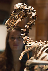 © Licensed to London News Pictures. 30/01/2014. London, England. Picture: A museum worker poses with a Dodo skeleton, composite