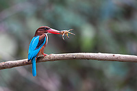 The white-throated kingfisher (Halcyon smyrnensis) also known as the white-breasted kingfisher is a tree kingfisher, widely distributed in Asia. Seen here feeding in Kaeng Krachan National Park.