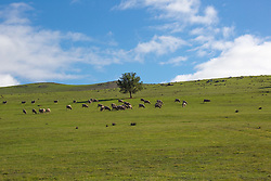 Sheep graze on a verdant hillside near Campbell Town, northern Tasmania.