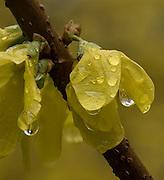 Forsythia after the Rain