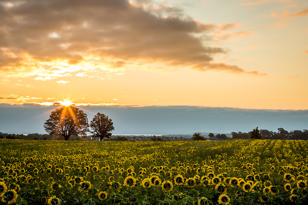 Row upon row of sunflowers turn to catch early morning rays, as the sun rises from behind the clouds. Lake Mendota is visible in the distance. Photo taken August 18, 2017.