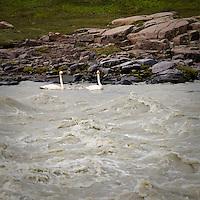 Álftir með unga í Jökulsá á Fljótsdal, Norðurdalur. Swans with Chicks on Glacier river Jokusla a Fljotsdal, Nordurdal.