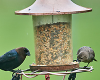 Pair of Brown-headed Cowbirds. Image taken with a Nikon D5 camera and 600 mm f/4 VR lens (ISO 1600, 600 mm, f/5.6, 1/1000 sec)