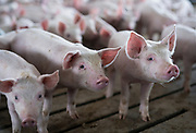 A pen of young pigs are seen during a tour of a hog farm in Ryan, Iowa, U.S. May 18, 2019. Picture taken May 18, 2019.  REUTERS/Ben Brewer