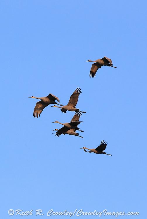 Sandhill cranes landing in cut corn field.