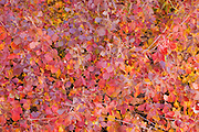 Close-up of red autumn leaves, New Mexico<br />