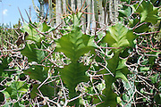 Euphorbia grandicornis (Big-horned Spurge or Cow's Horn)
