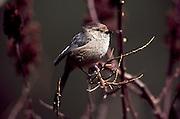 USA, Oregon, Siltcoos Recreation Area, Bushtit (Psaltriparus minimus)