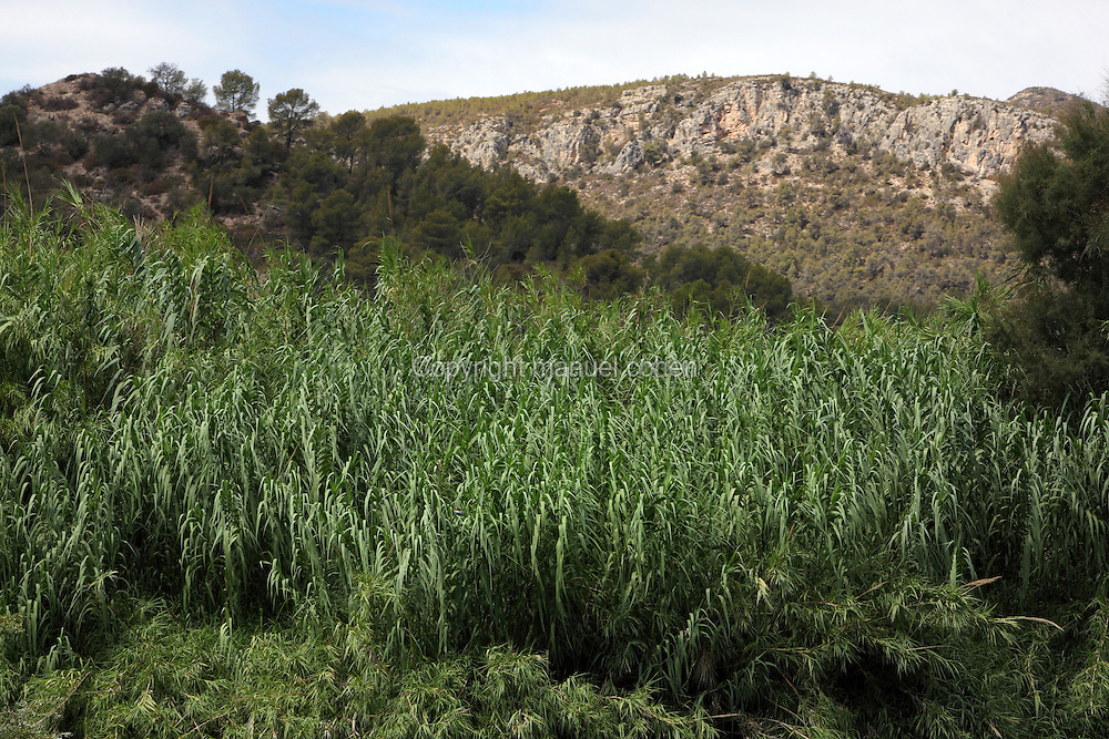 Rushes growing on the banks of the Ebro river, Tarragona, Spain. In this region the river is near the end of its course, passing through gorges and mountainous scenery before flowing out through the Ebro Delta into the Mediterranean Sea. Picture by Manuel Cohen