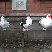 Muscovy ducks at Hackney City Farm, London
