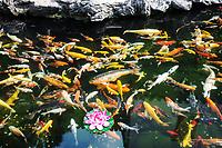 koy fish pond in the The Jade Buddha Temple Shanghai China