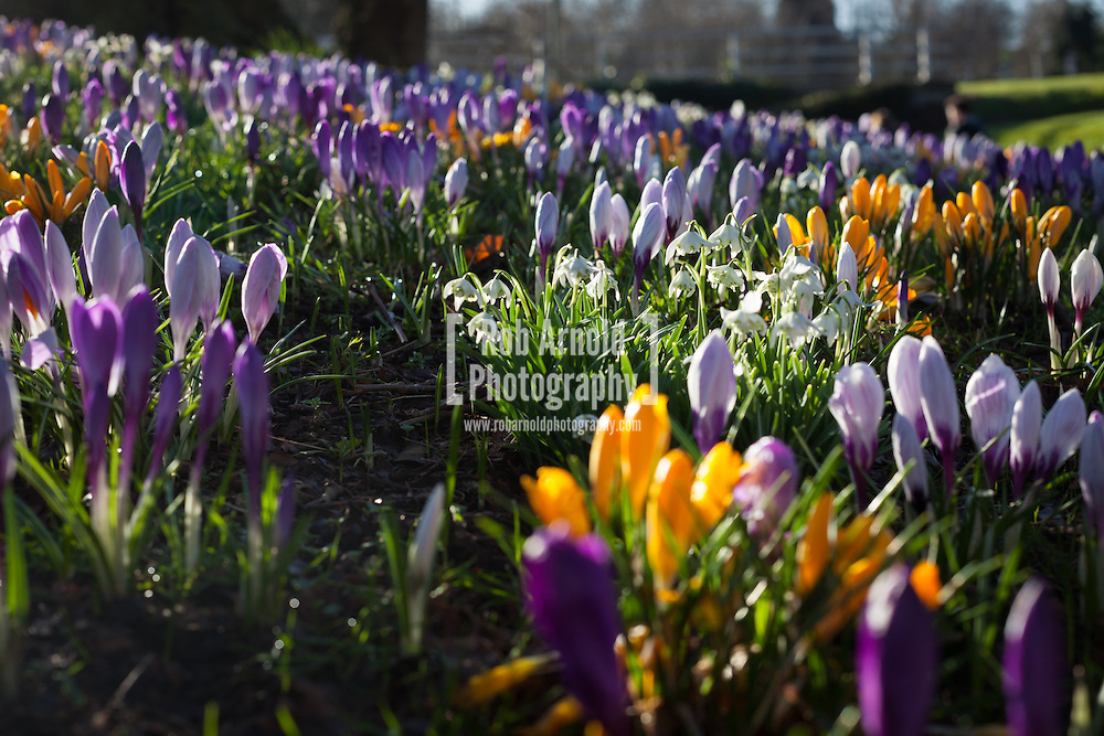 21/02/2014. Basingstoke, Hampshire, UK. Crocus flowers and Snowdrops blooming in the morning sunshine. Photo by Rob Arnold