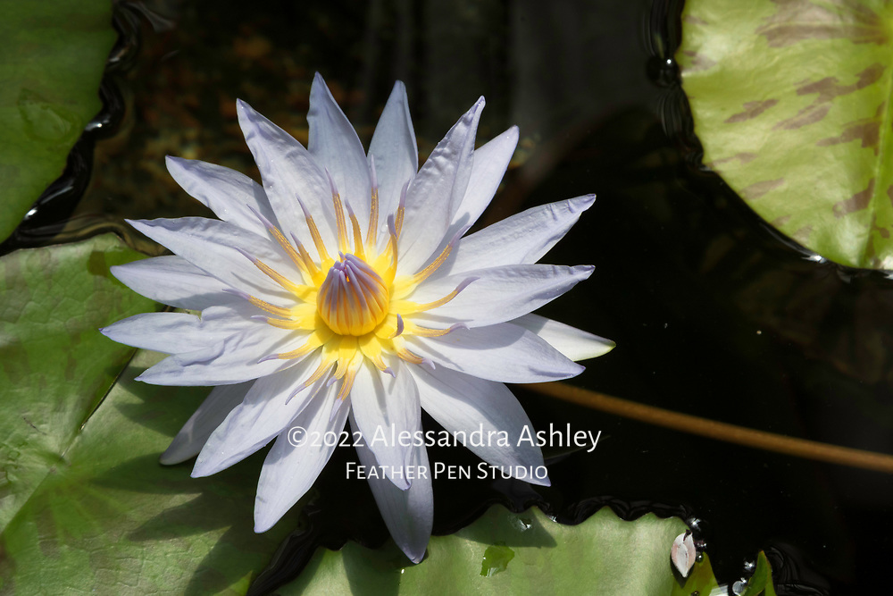 Waterlily, Conservatory of Flowers, Golden Gate Park, San Francisco.